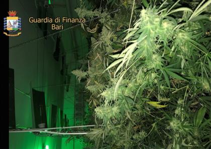 """La Guardia di Finanza scova l' """"officina della marijuana"""" a Bari. Sequestrate due piantagioni ed arrestato il coltivatore"""